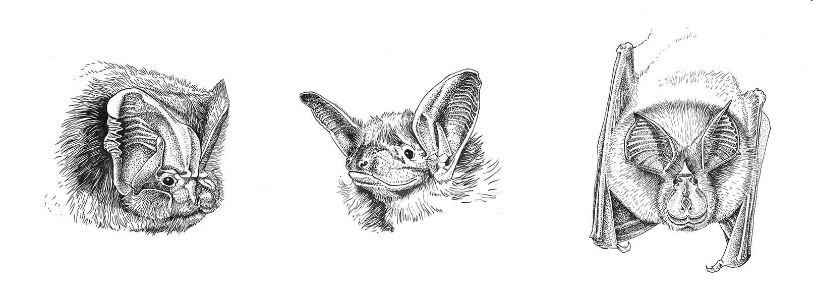 Portraits de trois chauves-souris par Charlotte Guicho
