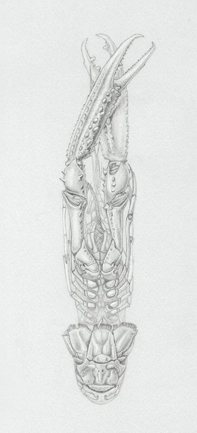 Dessin au crayon de papier et rehauts de blanc d'une langoustine par Charlotte Guichon