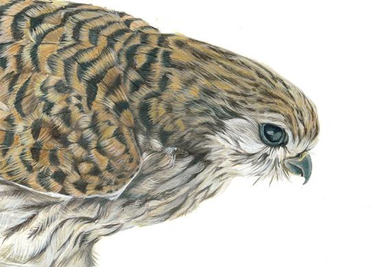 Dessins de profil d'un faucon crécerelle à l'encre acrylique et crayon de couleur par Charlotte Guichon