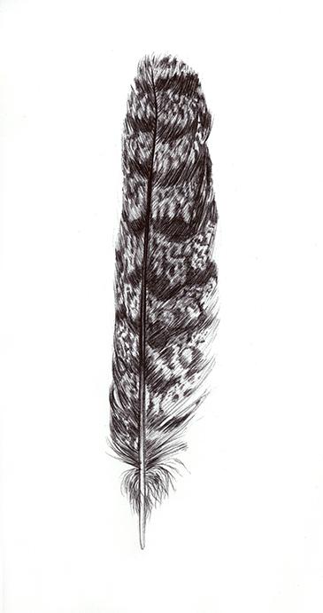 Dessin au bic d'une plume d'engoulevent par Charlotte Guichon
