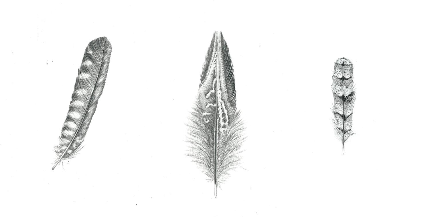 Plus de Faucon, de faisan, engoulevent au crayon de papier