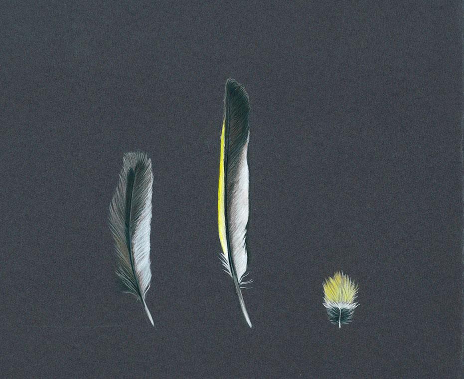 Plume de verdier mâle à l'encre et au crayon de couleur