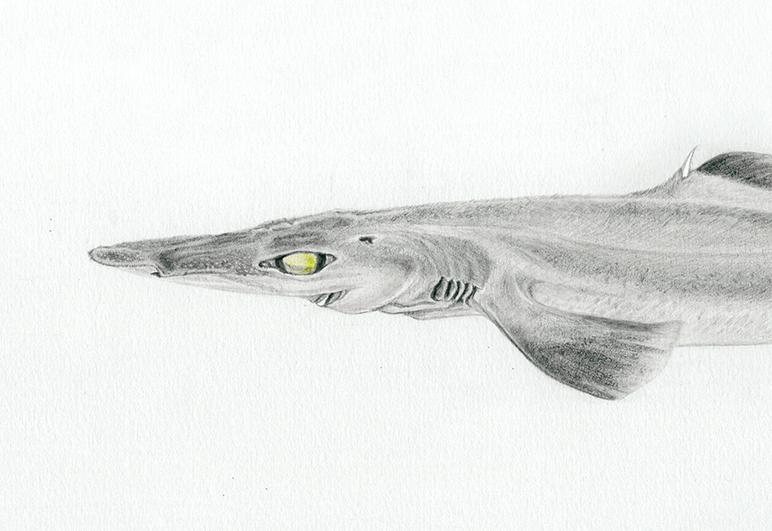 Vue de profil d'un requin savatte (ceania calcea) au crayon de papier et crayon de couleur par Charlotte Guichon