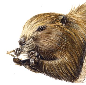 Portrait d'un castor rongeant du bois par Charlotte Guichon
