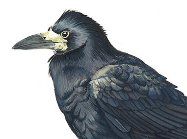Dessin d'un corbeau-freux par Charlotte Guichon à l'encre acrylique