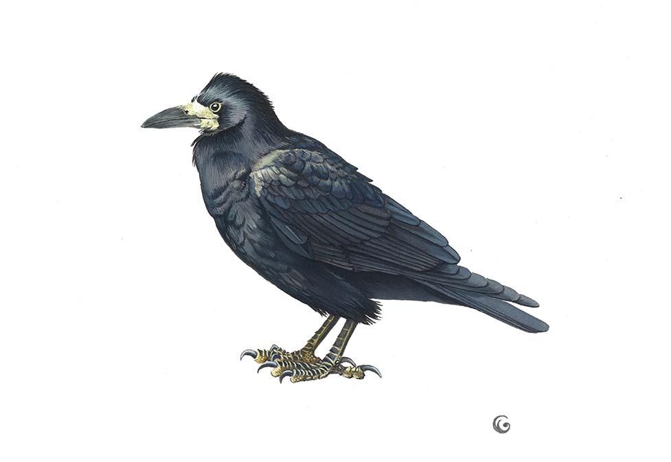 Dessin naturaliste d'un corbeau-freux à l'acrylique par Charlotte Guichon illustratrice naturaliste et scientifique