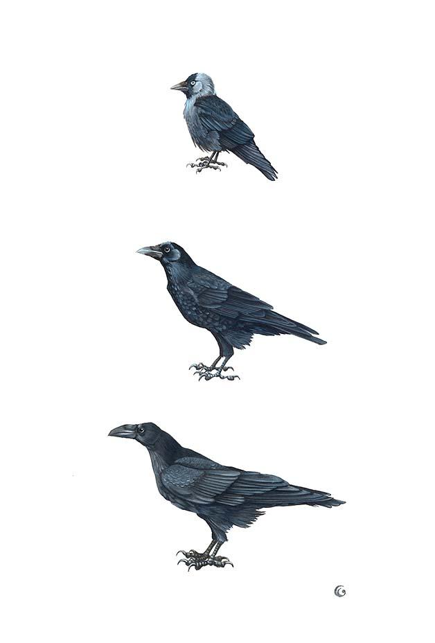 Trois dessins de corvidés : le choucas des tours, la Corneille et le Grand corbeau